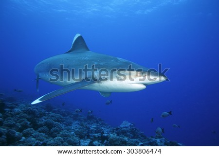 SILVERTIP SHARK SWIMMING ON THE PACIFIC OCEAN CLEAR WATER