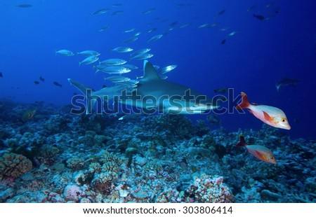 Silvertip Shark Aquarium Fish Digitalspaceinfo