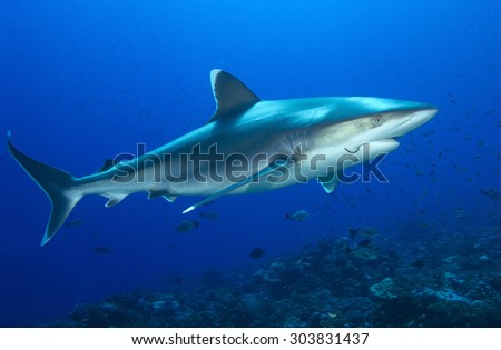 SILVERTIP SHARK SWIMMING WITH AA HOOK IN A MOUTH