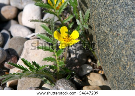 Silverweed - Potentilla anserina - stock photo
