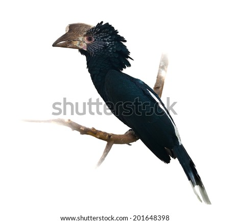 Silvery-cheeked Hornbill. Isolated over white background
