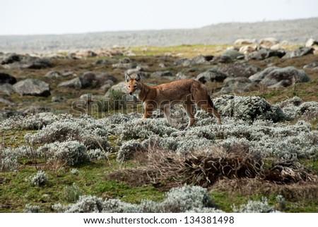 Simien wolf, Ethiopian Highlands - stock photo