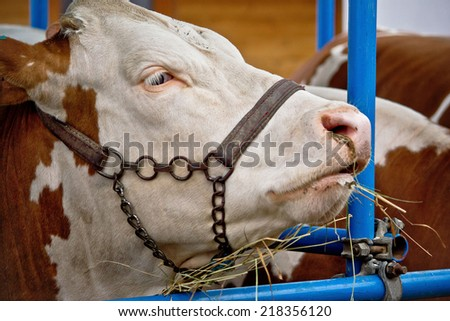 Simmental bull portrait in barn, animal farm - stock photo