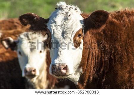 Simmental cattle in a pasture