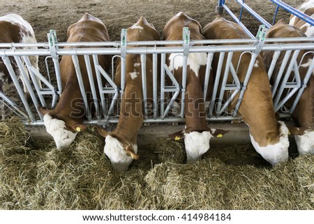 Simmental Cows Feeding - stock photo