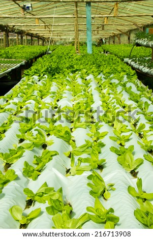 Simple Hydroponic System growing Lettuce in running water inside a greenhouse - stock photo
