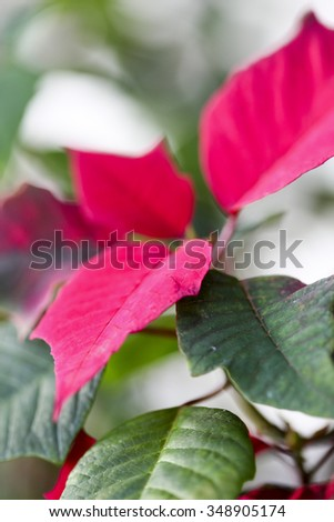 Simple Poinsettia holiday plant close-up - stock photo