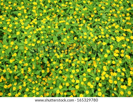 Singapore dailsy - yellow flowers - stock photo