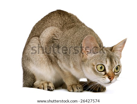 Singapura crouching on white background - stock photo