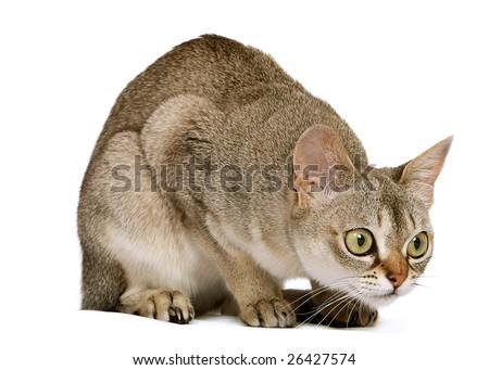 Singapura crouching on white background - stock photo