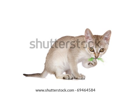 Singapura kitten on white