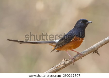 Singer of the forest :White rumped shama on the branch in dry nature