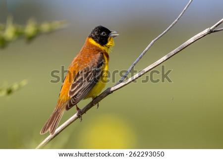 Singing Black headed Bunting (Emberiza melanocephala) perched on a branch - stock photo