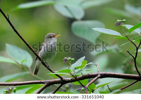Singing Blyth's reed warbler (Acrocephalus dumetorum)