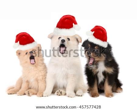 Singing Christmas Puppies Wearing Santa Hats on White - stock photo