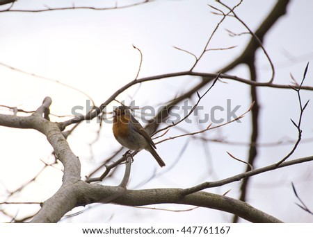Singing European robin (Erithacus rubecula) sitting in a tree.