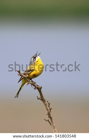singing male of a yellow wagtail - stock photo