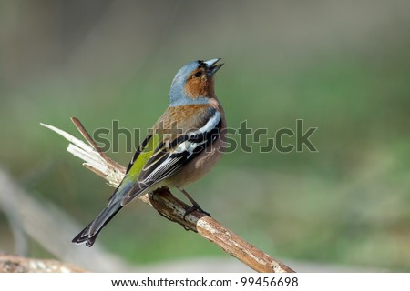 Singing male of chaffinch on a branch. Fringilla coelebs. - stock photo