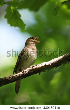 Singing Nightingale, Luscinia megarhynchos, single bird on branch - stock photo