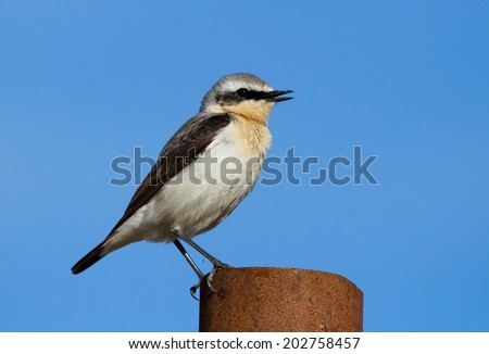 Singing Northern wheatear