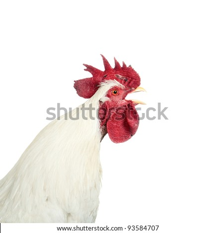 Singing Rooster - stock photo