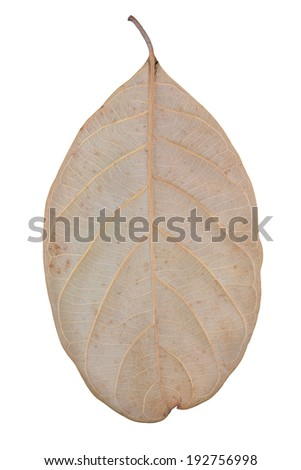 Singke dry leaf isolated on white - stock photo