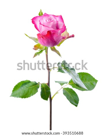 single abstract romantic beautiful pink rose flower with leaves is isolated on white background, close up
