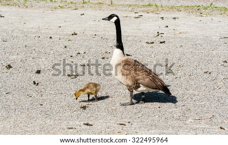 Single adult Canada Goose watching over one cute young gosling looking at gravel ground. - stock photo