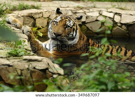 Single adult tiger in captivity