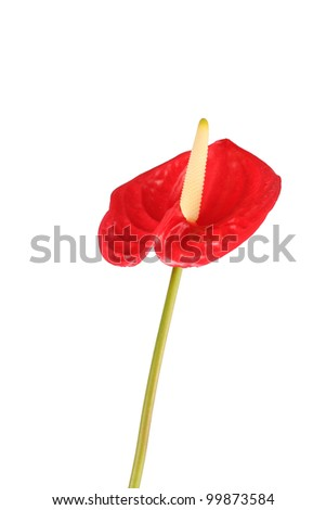 Single Anthurium flower in green stem - stock photo