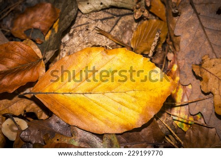 single autumn beech leave an the forest soil - stock photo