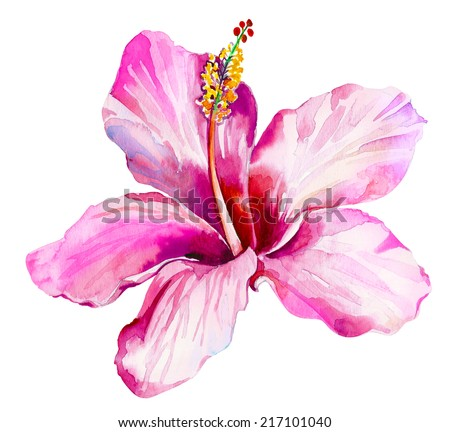 single beautiful hibiscus flower isolated on white - stock photo