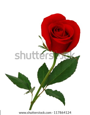 Single beautiful red rose isolated on white background - stock photo