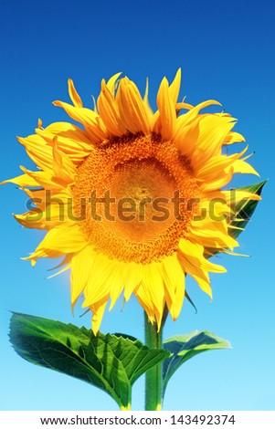 Single beautiful sunflower in  the summer field. - stock photo