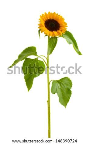 single  beautiful  sunflower  isolated on white background - stock photo