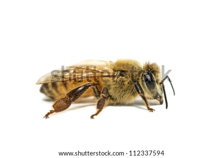 Single Bee isolated on white.  Macro photo with high magnification. - stock photo