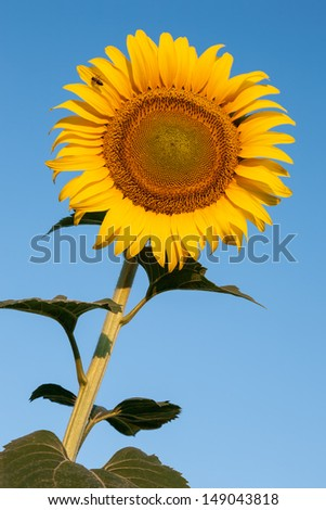 Single bee on a sunflower. - stock photo