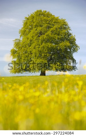 single big beech tree at spring in Bavaria, Germany - stock photo