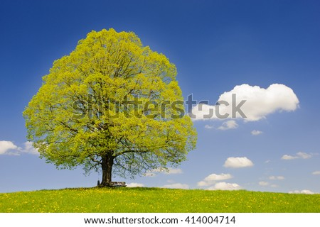 single big linden tree in meadow at spring