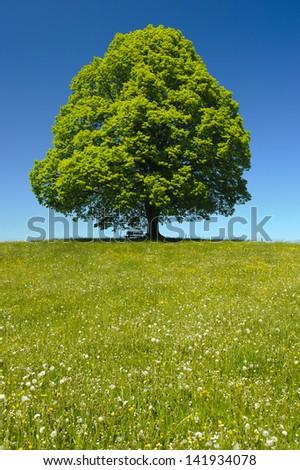 single big old linden tree - stock photo