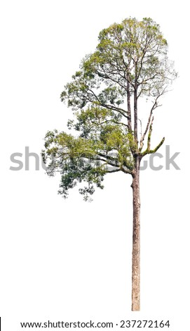 Single big tropical forest tree isolated on white background. - stock photo