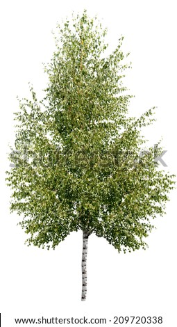 single birch tree isolated  - stock photo
