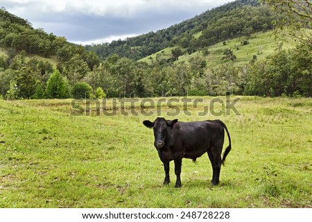Single black Angus steer in a vast green agricultural pasture against trees and hills in country region - stock photo