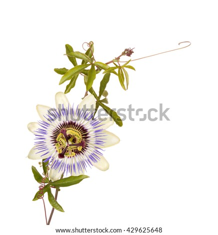 Single bloom of the blue passionflower (Passiflora caerulea) with leaves, stem and tendrils isolated against a white background