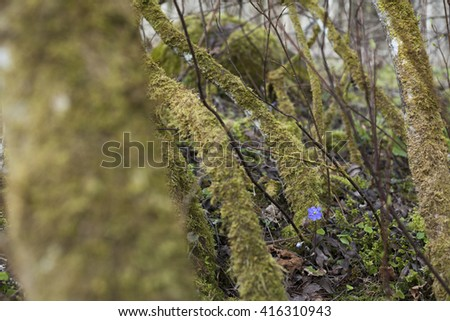 Single blue flower of kidneywort (Anemone hepatica) at spring day in European forest among moss-covered trees. Shallow DOF.