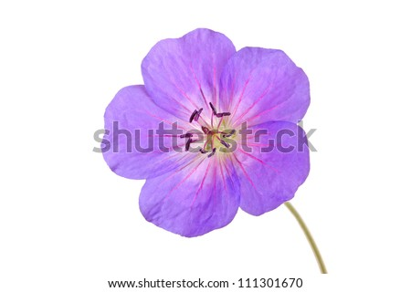 Single bright purple and red flower of the cultivated Geranium isolated against a white background - stock photo
