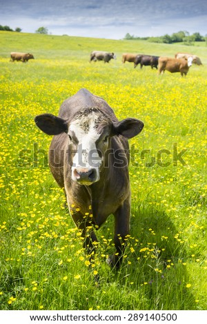 Single brown and white young beef cow approaching camera in a field of buttercups on a sunny spring day - stock photo