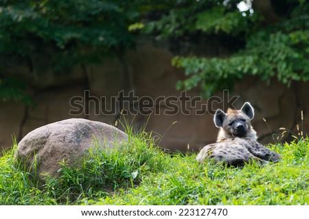 single brown hyena lying next rock in green grass - stock photo