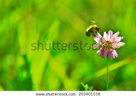 single bumblebee in flight at pink flower in bright summer sunshine, green background - stock photo