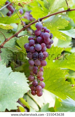 Single bunch of red grapes on a vine  - stock photo